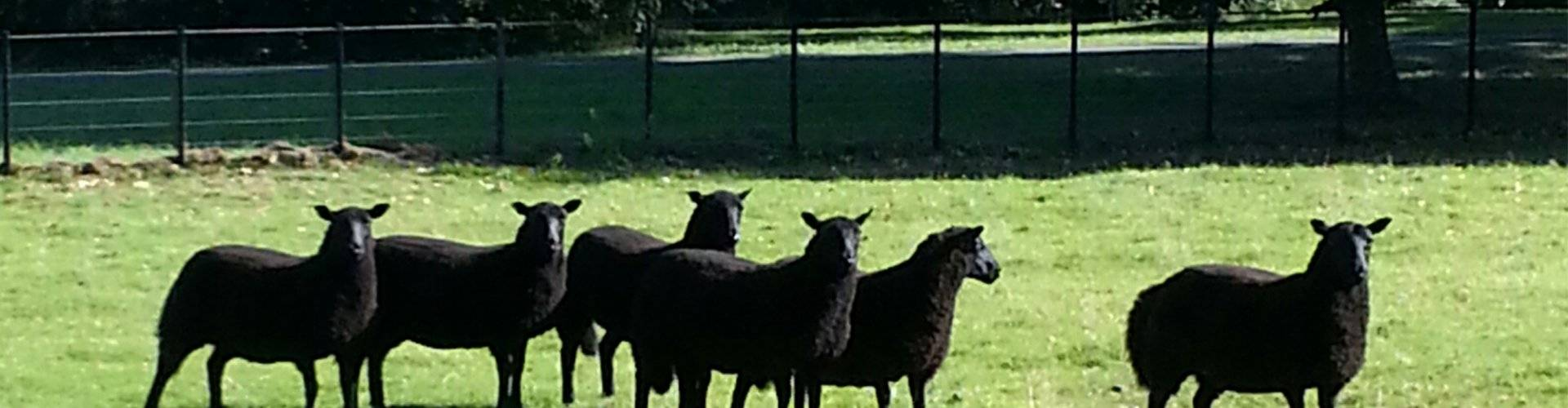 Contact Us - Black Welsh Mountain Sheep Breeders Association