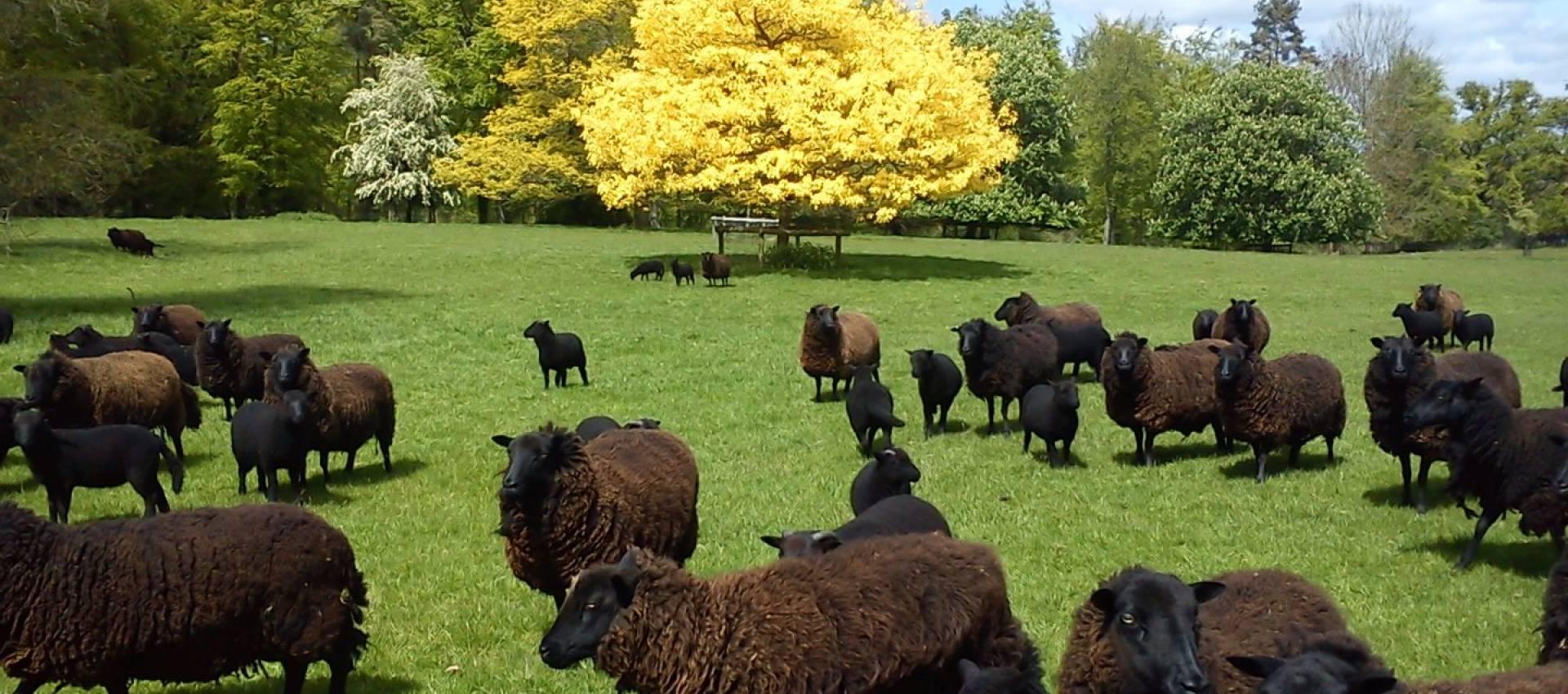 Black Welsh Mountain Sheep Breeders Association